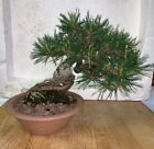 bonsai Japanese red pine shohin mame show ready 49yrs large twisted trunk A+ nr