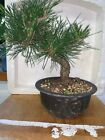 bonsai Japanese black pine shohin mame show ready 27yrs style A++++
