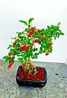 Bonsai Tree Barbados Cherry Malpighia emarginata