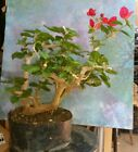 Beautiful Bonsai Style Bougainvillea 19 Tall Great Style Magenta Bloom