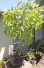 Wisteria Sinensis Blue Pre Bonsai Dwarf Kifu Big Fat Trunk Purple Flowers