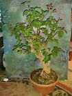 Beautiful Bonsai Style Bougainvillea 24 Tall Thick Trunk Magenta Blooms