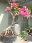Bougainvillea La Jolla Pre Bonsai Dwarf Kifu Big Fat Trunk Magenta Flowers