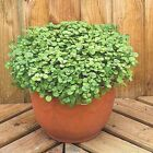 501+WATERCRESS Seeds Organic Non Gmo SUPERFOOD Spring Fall Garden Container