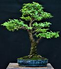Chinese Elm Cork Bark 1 Ulmus parvifolia bonsai medium size