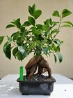 Ficus Bonsai Tree SALE