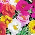 500+PORTULACA ROSE MOSS DOUBLES MIX Flower Seed Long Bloomer Garden Container
