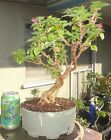 Bougainvillea Torch Glow Pre Bonsai Dwarf Kifu Big Fat Truck Exposed Root Flower