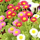 401+ENGLISH DAISY MIX Flower Seeds European Wildflower Early Blooms Groundcover