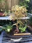 Bald Cypress Bonsai Tree Grafted Knee