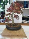 bonsai Japanese bonfire maple shohin mame show ready 37yrs rare
