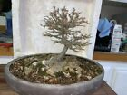 bonsai Japanese Trident maple massive trunk show ready awesome tree