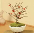 Mini Bonsai Japanese Umeplum Tree with traditional Seto yaki pottery