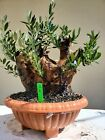 Old European Olive Tree Bonsai Tree SALE