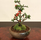 Mini Bonsai Japanese Umequince Tree with traditional Seto yaki pottery