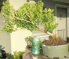 Boxwood Green Beauty Pre Bonsai Semi Cascade Fat Trunk Neagari Nebari Buxus