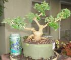 Lantana Irene Pre Bonsai Dwarf Shohin Big Fat Trunk Exposed Root Neagari Flowers