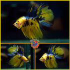 Live Betta Fish Male HYBRID Blue Marble Yellow Tiger Koi Crowntail Halfmoon K203