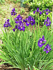 DUTCH IRIS flower SEED 300 Perennials PURPLE free shipping