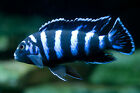 Demasoni Cichlid, Pseudotropheus1.5 in African Cichlid FREE OVERNIGHT SHIPPING!