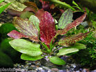 Echinodorus Red Flame Pot Amazon Sword Rare Live Aquarium Plants Aquatic Rare