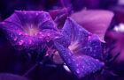 Wall Art Picture Wet Glass Purple Night Flowers Archival Photograph Decor AFP