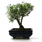 Variegated Serissa Bonsai tree in ceramic bonsai pot 22 26cm