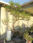 Catlin Elm Ulmus Pre Bonsai Dwarf Shohin Nice Movement Trunk Exposed Roots