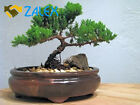 9Greenbox Best Gift Bonsai Juniper Tree 4 Pound Fresh Flowers Live Indoor Plants