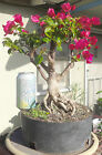 Bougainvillea Pre Bonsai Kifu Big Fat Huge Trunk Nice Nebari Red Flowers