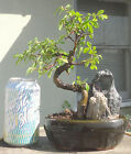 Chinese Elm Ulmus Bonsai Shohin Dwarf Nice Movement Trunk W Stone Rock