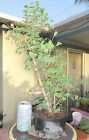 Ginkgo Biloba Pre Bonsai Raft Forest Dwarf Shohin Big Fat Trunk