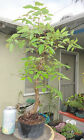 Japanese Zelkova Elm Pre Bonsai Dwarf Shohin Big Fat Trunk Nice Nebari