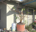 Chaenomeles Contorta Japanese Contorted Quince Pre Bonsai Shohin Forest Flowers
