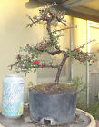 Cotoneaster Pre Bonsai Dwarf Mame Nice Movement Trunk Flowers Berries A1