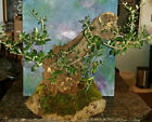Huge Beautiful Bonsai Mission Olive Tree in Unique GFRC Rock Style Pot