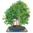 Trident Maple Bonsai Forest 7 Trident Bonsai Trees in Ceramic Pot