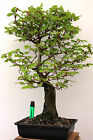 TREMENDOUS BEECH BONSAI 24 HIGH 17 SPR 3 FLARED TRUNK COLLECTED 15 YRS AGO