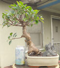 Tiger Bark Ficus Bonsai Dwarf Kifu Shohin Nice Movement Big Fat Trunk W Stone