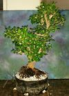 Beautiful Japanese Boxwood Tree Bonsai Style Buxus Microphylla Japonica 21