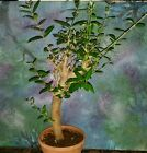 Beautiful Mission Olive Tree Great Bonsai Style 22 Tall