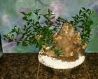 Beautiful 50 Year Old Mission Olive Tree Great Bonsai Style Large 11 Trunk