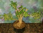 Beautiful Japanese Boxwood Bonsai Tree Buxus Microphylla Japonica