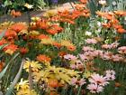 African Daisy 50 Seeds Mixed Colors Pink Yellow Orange Apricot White Pretty
