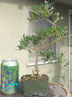 Olive San Fernando Pre Bonsai Dwarf Shohin Nice Movement Trunk A2