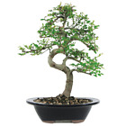 Brussels Chinese Elm Bonsai