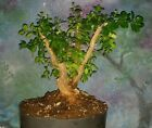 Japanese Boxwood Bonsai Tree Buxus Microphylla Japonica 15 Tall REDUCED