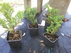 Procumbens Nana Juniper Bonsai starter plant Evergreen FIFTY plants