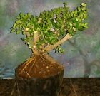 Japanese Boxwood Bonsai Tree Buxus Microphylla Japonica 16 Tall