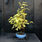 Bonsai Tree Dawn Redwood Metasequoia Glyptostroboides WYSIWYG Bonsai B